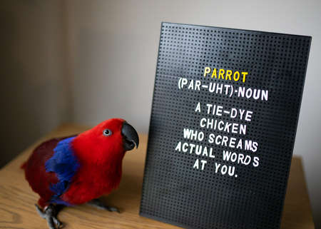 A female eclectus parrot standing next to a letter board with a funny description about parrots