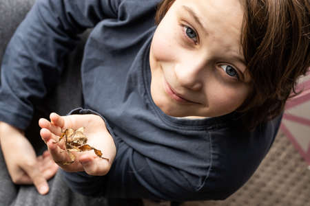 A juvenile female Australian spiny leaf insect, Extatosoma tiaratum being held by a boy