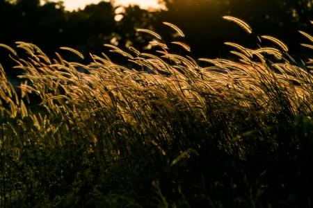 gramineas: hierbas flora en el viento