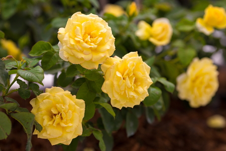 bourgeon: Yellow rose in the greenhouse