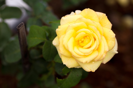 goodliness: Yellow rose in the greenhouse