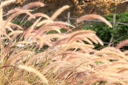 gramineas: hierbas flora Foto de archivo