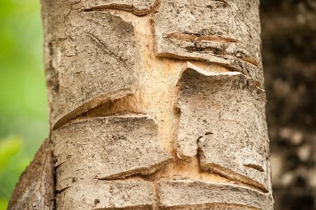scarring: Corteccia � gli strati pi� esterni di steli e radici di piante legnose.