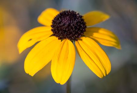 helianthus annuus: beach sunflower