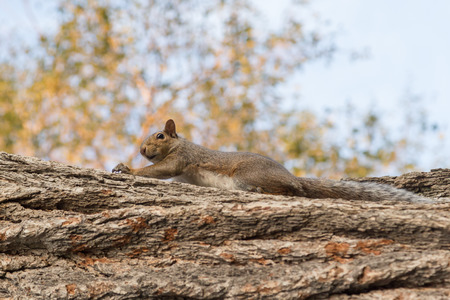 grey: Grey squirrel Stock Photo