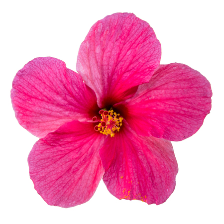 folwer: Pink Hibiscus folwer isolated on white background Stock Photo