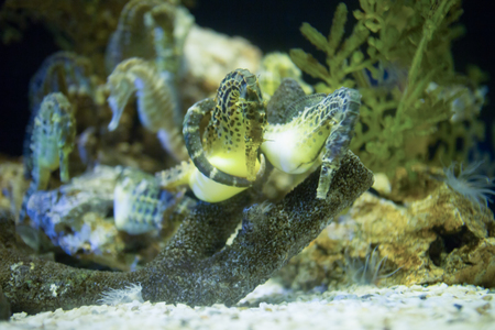 reproduce: Seahorses are breeding Stock Photo