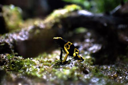 rana venenosa: Yellow-banded poison dart frog or bumblebee poison frog (Dendrobates leucomelas)