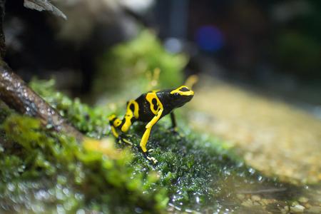 poison frog: Yellow-banded poison dart frog or bumblebee poison frog (Dendrobates leucomelas)