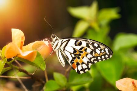 Beaitiful butterfly on bougainvillea flowers under sunlight