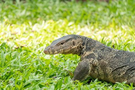 Monitor lizard on green grass, Thailand