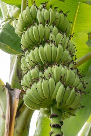 Bunch of bananas with banana leaf