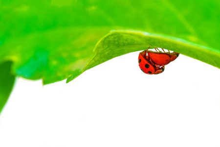 Beetles or ladybugs are breeding on green leaf