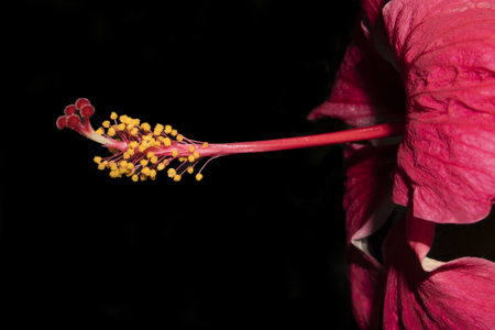 Colse-up of red hibiscus flower on black background
