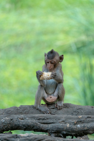Little Monkey (Crab-eating macaque) eating corn Stockfoto