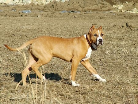 pup: 7-month American Staffordshire pup