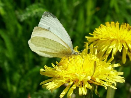 Large White butterfly Stock Photo - 413398