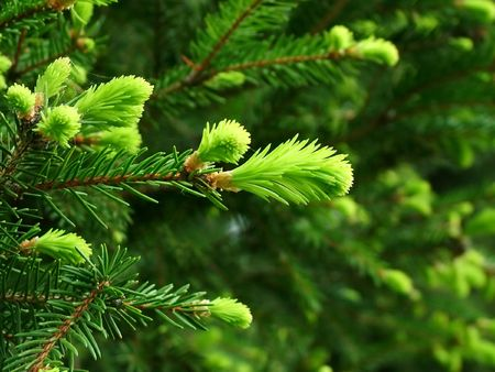 Closeup of fresh fir buds