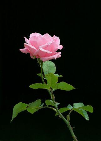 Pink rose on black