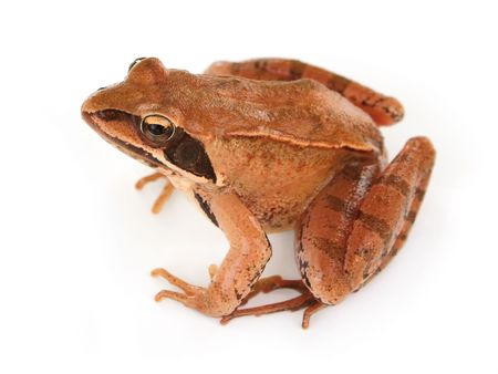 staying in shape: Isolated brown frog