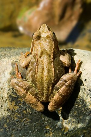 Top view of a frog sitting on stone Stock Photo - 1349874
