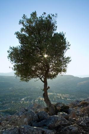tsampika: Olive tree in backlight between the rocks of mount Tsampika, Rhodes Stock Photo