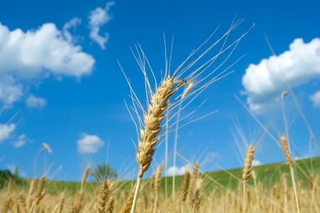 emphasized: Wheat field in summertime. One ear emphasized