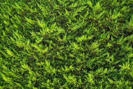 Texture of a green fir bush Stock Photo - 1481112