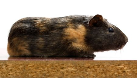 Side view of black guinea pig sitting on the table side Stock Photo - 2590371