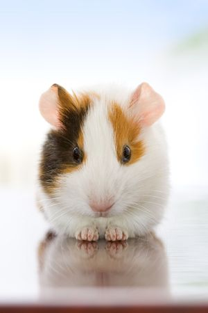 Cute guinea pig sitting and looking to us photo