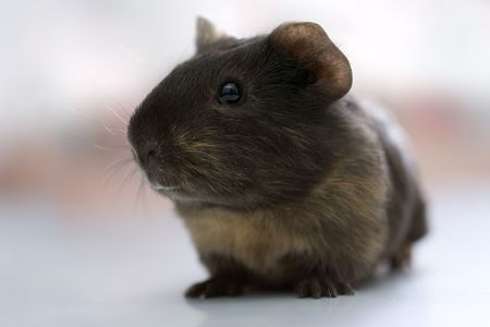Cute black guinea pig sitting and watching Stock Photo - 2709321