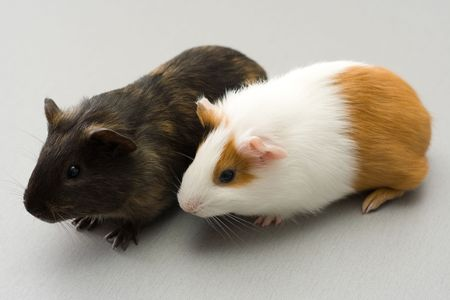 Pair of guinea pigs sitting on gray surface Stock Photo - 2709966