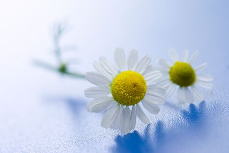 Chamomile flower macro on blue surface Stock Photo - 3242991