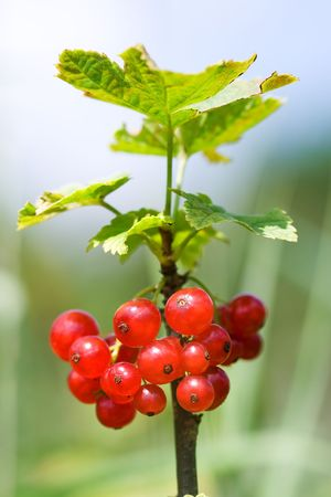 ribes: Ripe red currant cluster and leaves [Ribes rubrum]