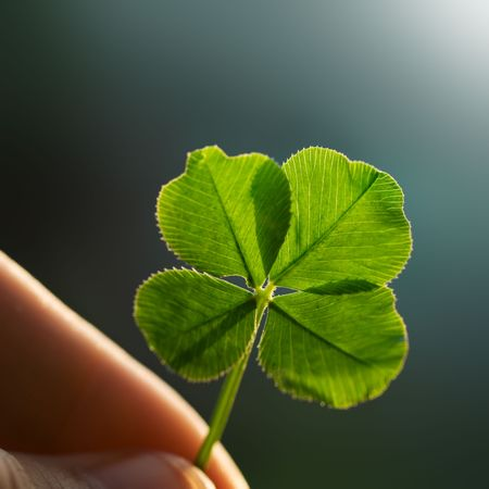 lucky clover: Hand holding a four leaf clover on the ground Stock Photo