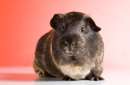Black guinea pig sitting over red background Stock Photo - 4244267