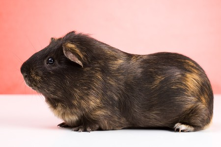 Side view of black guinea pig sitting over red background Stock Photo - 4244280