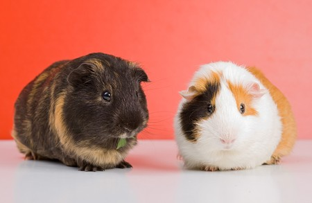 Pair of guinea pigs sitting over red background photo