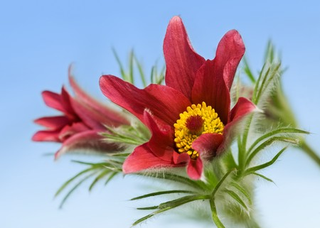 Pulsatilla vulgaris on blue background photo