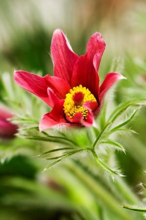 vulgaris: Pulsatilla vulgaris in garden