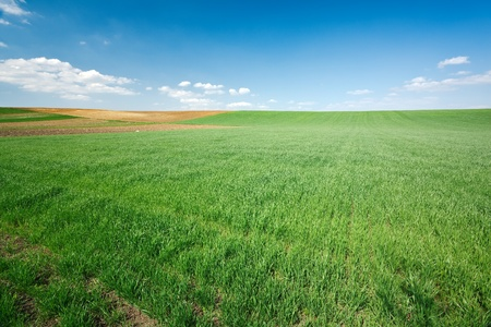 Fresh green wheat field and blue cloudy sky; ideal for nature background photo