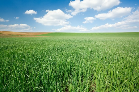 Fresh green wheat field and blue cloudy sky photo