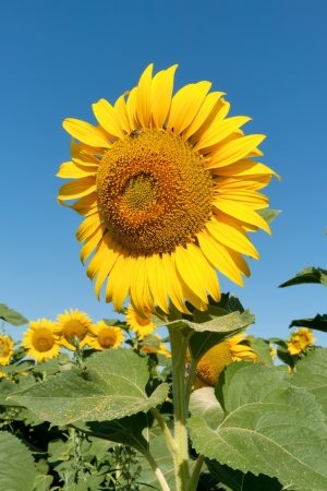 Sunflower on field against clear blue sky Stock Photo - 16059565