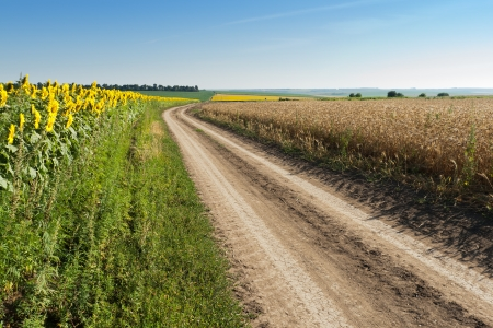 Sunflower and wheat on country road side, summertime Stock Photo - 16059601