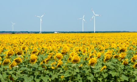 Windmills against blue sky, sunflower field in front (focus on windmills) photo
