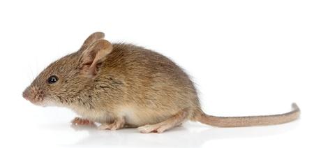 家のマウス (ハツカネズミ) の側面図