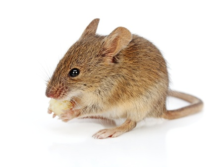 House mouse eating piece of cheese (Mus musculus) photo