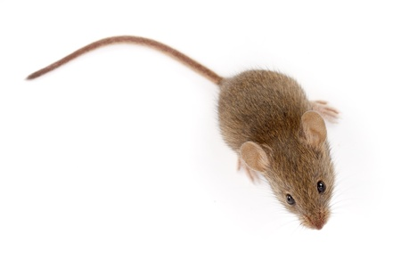 House mouse on white, looking up  Mus musculus  photo
