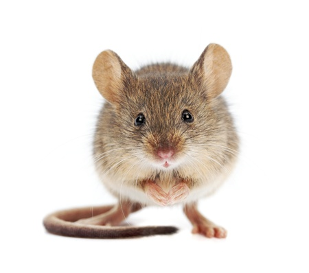 House mouse standing on rear feet  Mus musculus  Stock Photo