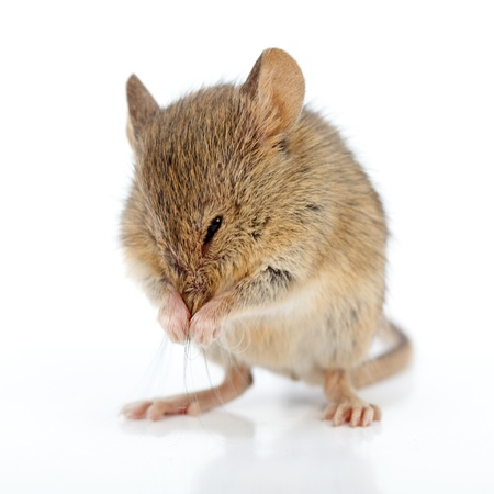 musculus: Close view of a house mouse cleaning himself (Mus musculus)